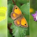 Big Butterfly Count: Which common UK species to look for