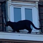 Black panther caught prowling French rooftops stolen in zoo break-in