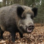 Italian man accidentally shoots, kills father during boar hunt: reports