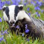Badger culls risk increased spread of TB to cattle, study finds