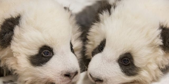 China's permanent loan Pandas Meng Meng and Jiao Qing are the parents of the two cubs that were born on Aug. 31, 2019 at the Zoo in Berlin.