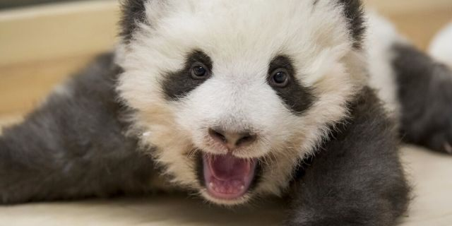 """Zookeepers initially hand fed the cubs — the first giant pandas born in Germany — with bottles of milk pumped from mother Meng Meng but they now feed on their own.<br data-cke-eol=""""1"""">"""