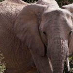 Botswana cancels hunters' licenses following controversy over killing protected elephant
