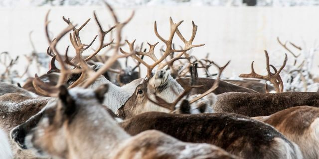 In this Tuesday, Nov. 26, 2019, Reindeer in a temporary corral in Rakten, outside of Jokkmokk, before being transported to winter pastures. (AP Photo/Malin Moberg)