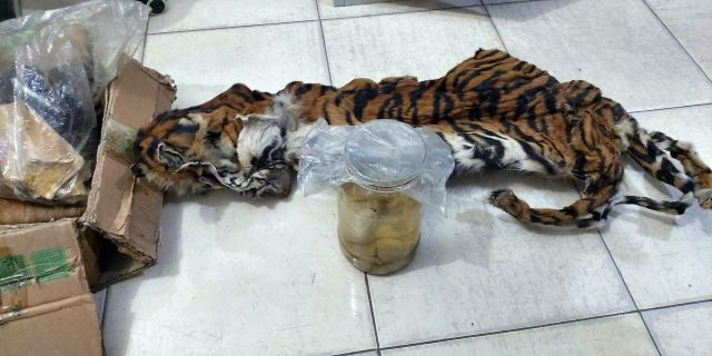 In this photo released by Environment and Forestry's Law Enforcement Center and taken Saturday, Dec 7, 2019, the skin of Sumatra Tiger and and four fetuses stored in jars can be seen in Riau province, Indonesia.