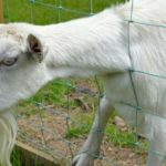 Canada police called to investigate screaming child, turns out to be crying goat