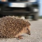 Nottingham Trent University study to assess impact of traffic on hedgehogs