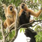 Conservation: Glimmer of hope for world's rarest primate