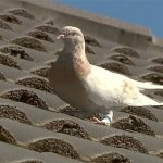 Australia wants to kill US racing pigeon that made 8,000-mile journey over disease concerns