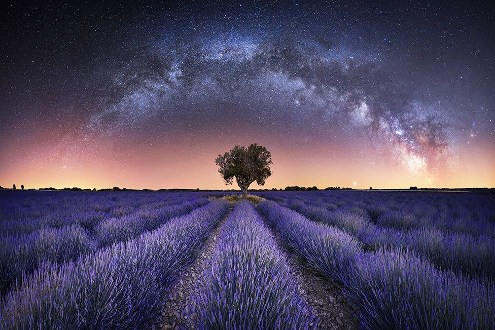 A panorama photo showing a lavender field with stars from the night sky above